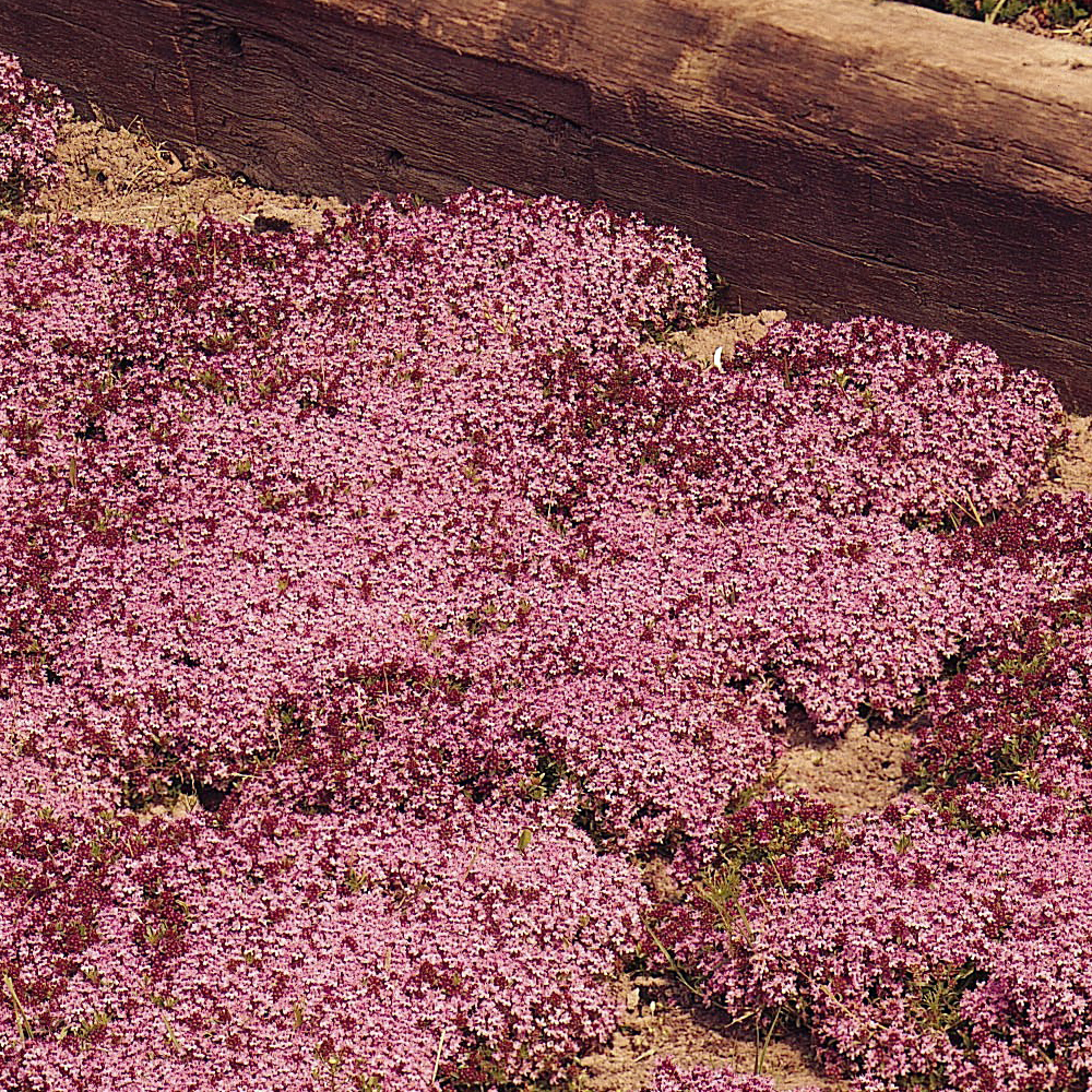 Image of Creeping Thyme