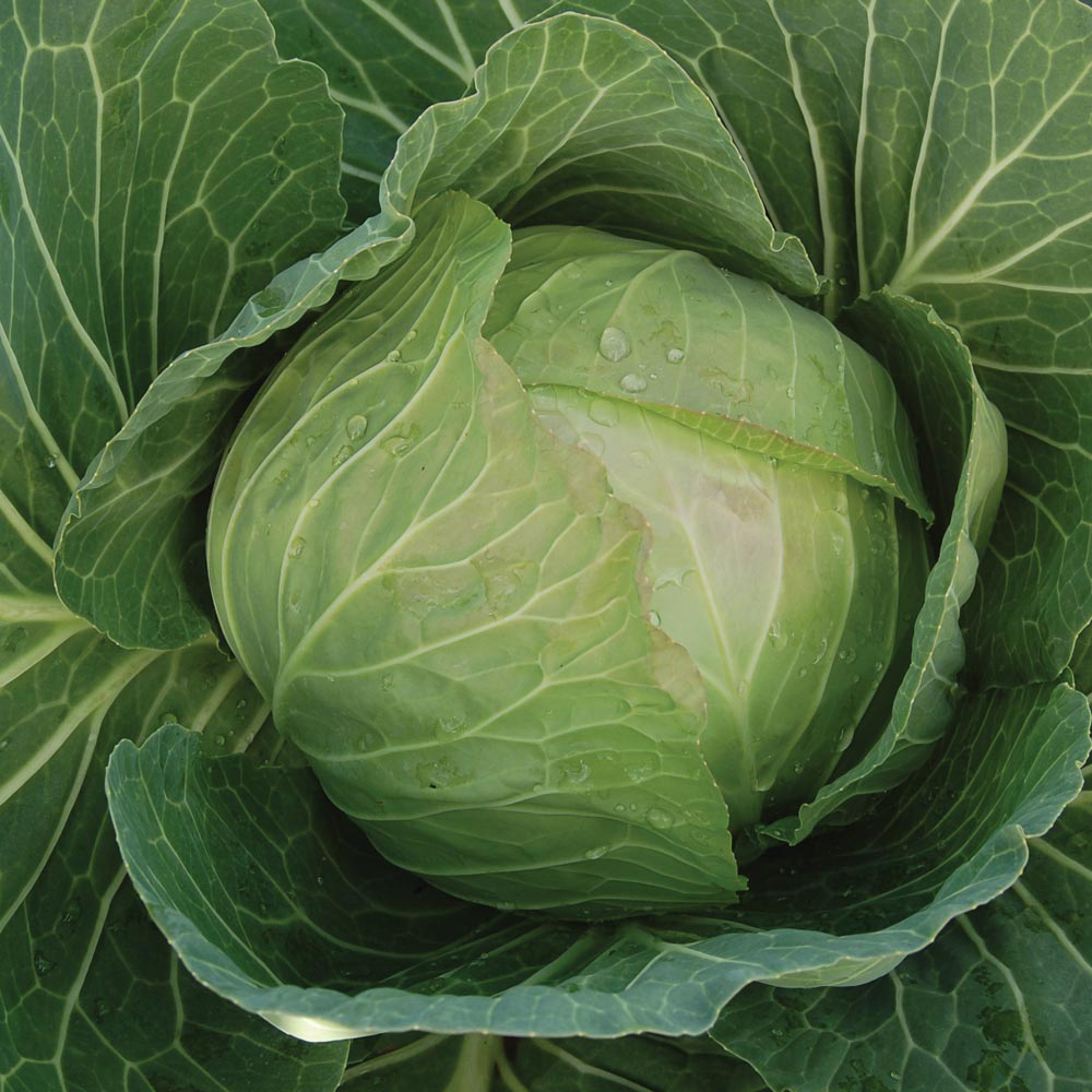 Vegetables Thompson /& Morgan Cabbage Colour Dual Mix F1 Hybrid 50 Seed