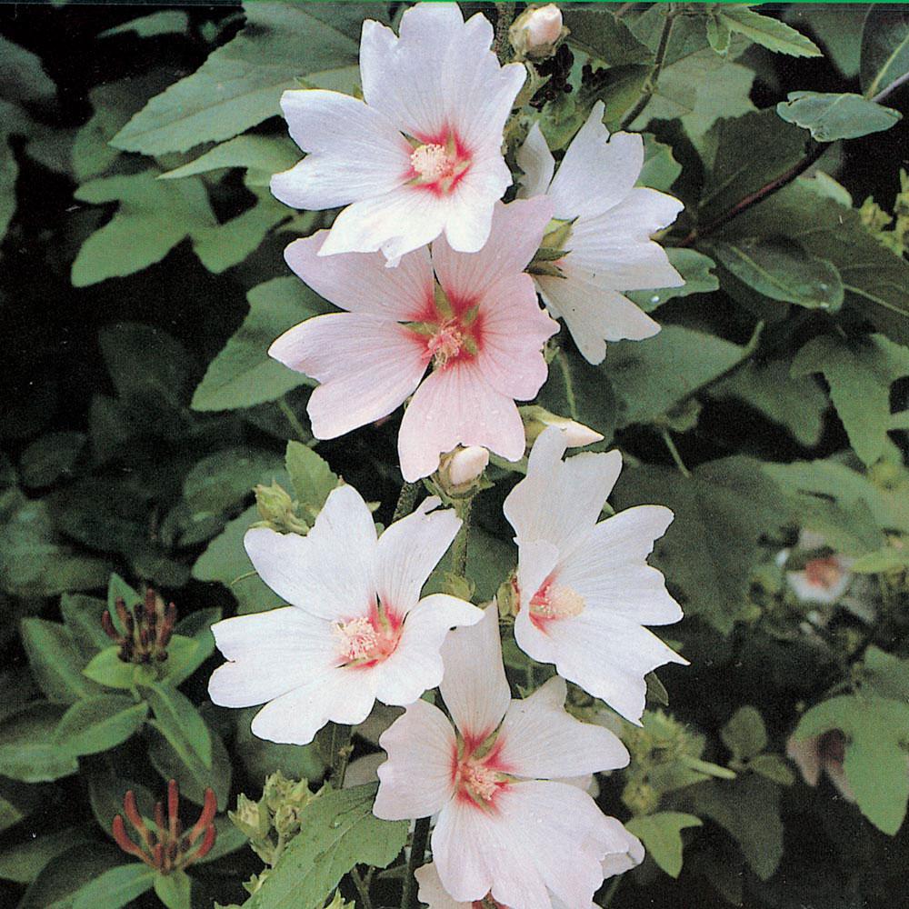 Image of Lavatera x clementii 'Barnsley'