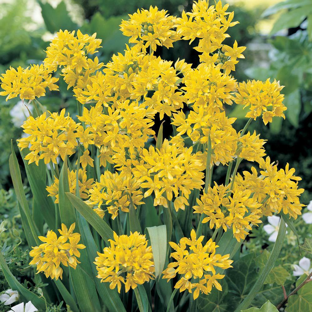 Image of Allium moly