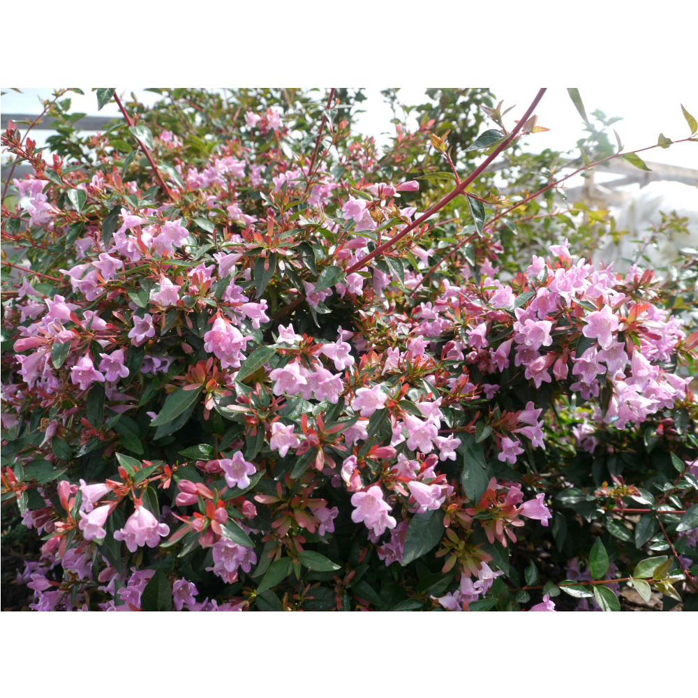 Image of Abelia 'Edward Goucher'