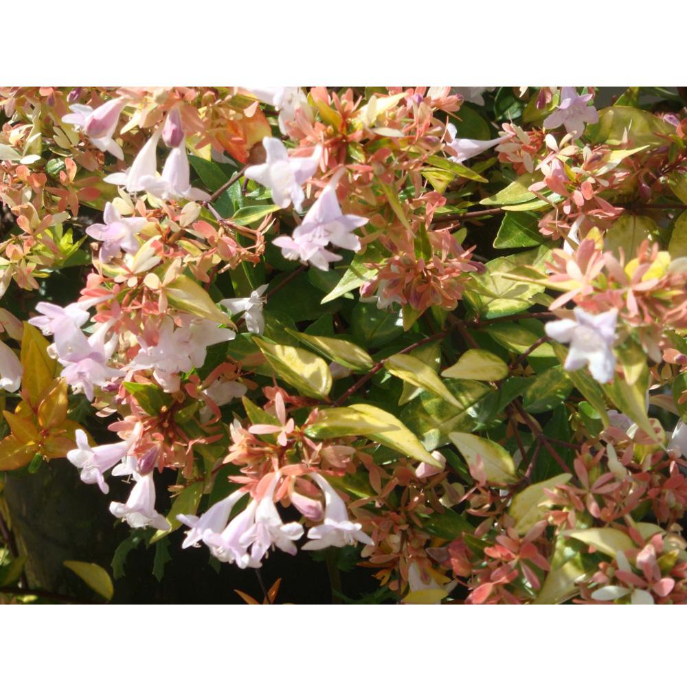 Image of Abelia x grandiflora 'Francis Mason'