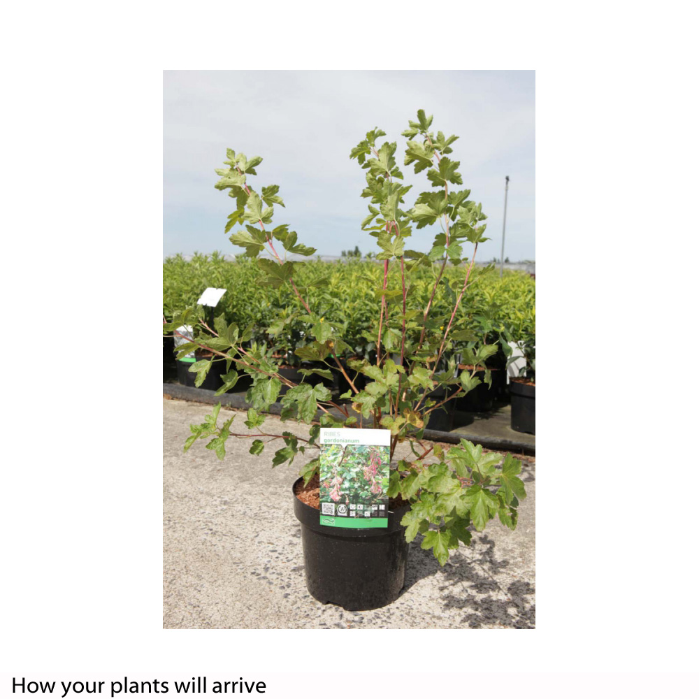 Image of Ribes gordonianum