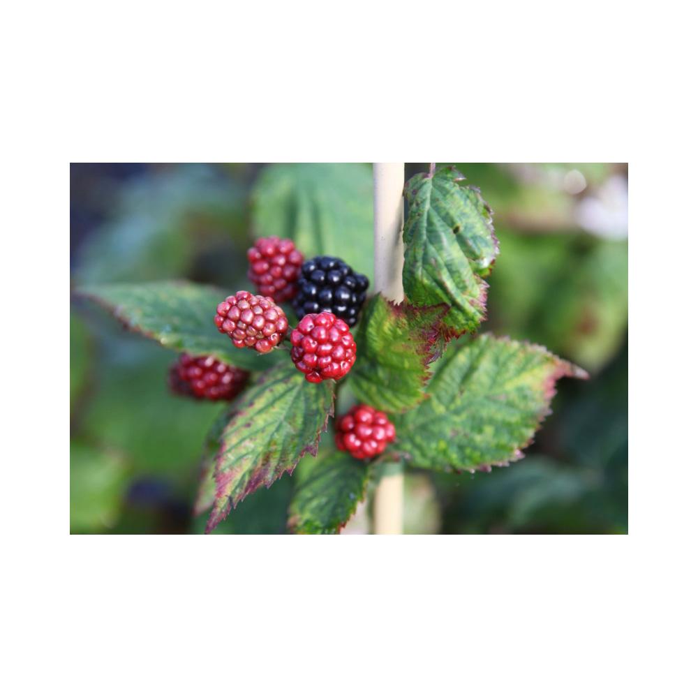Image of Blackberry 'Black Satin'