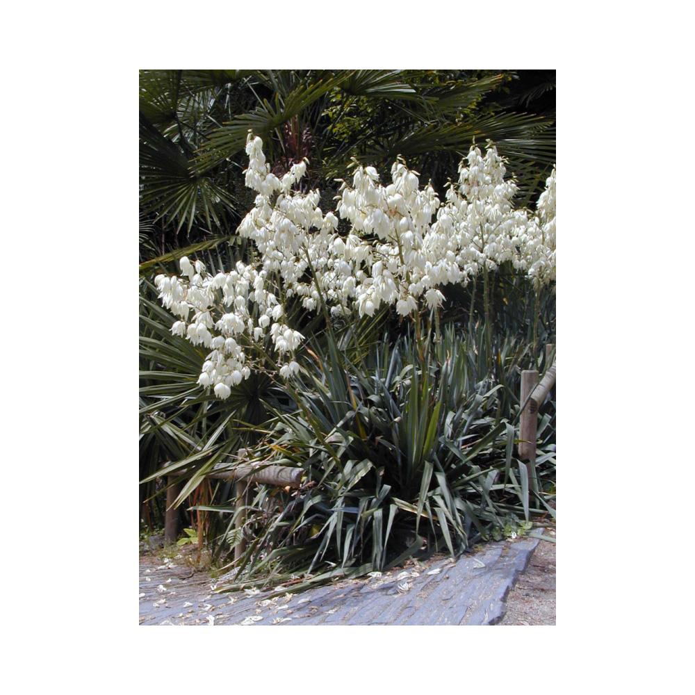 Image of Yucca filamentosa