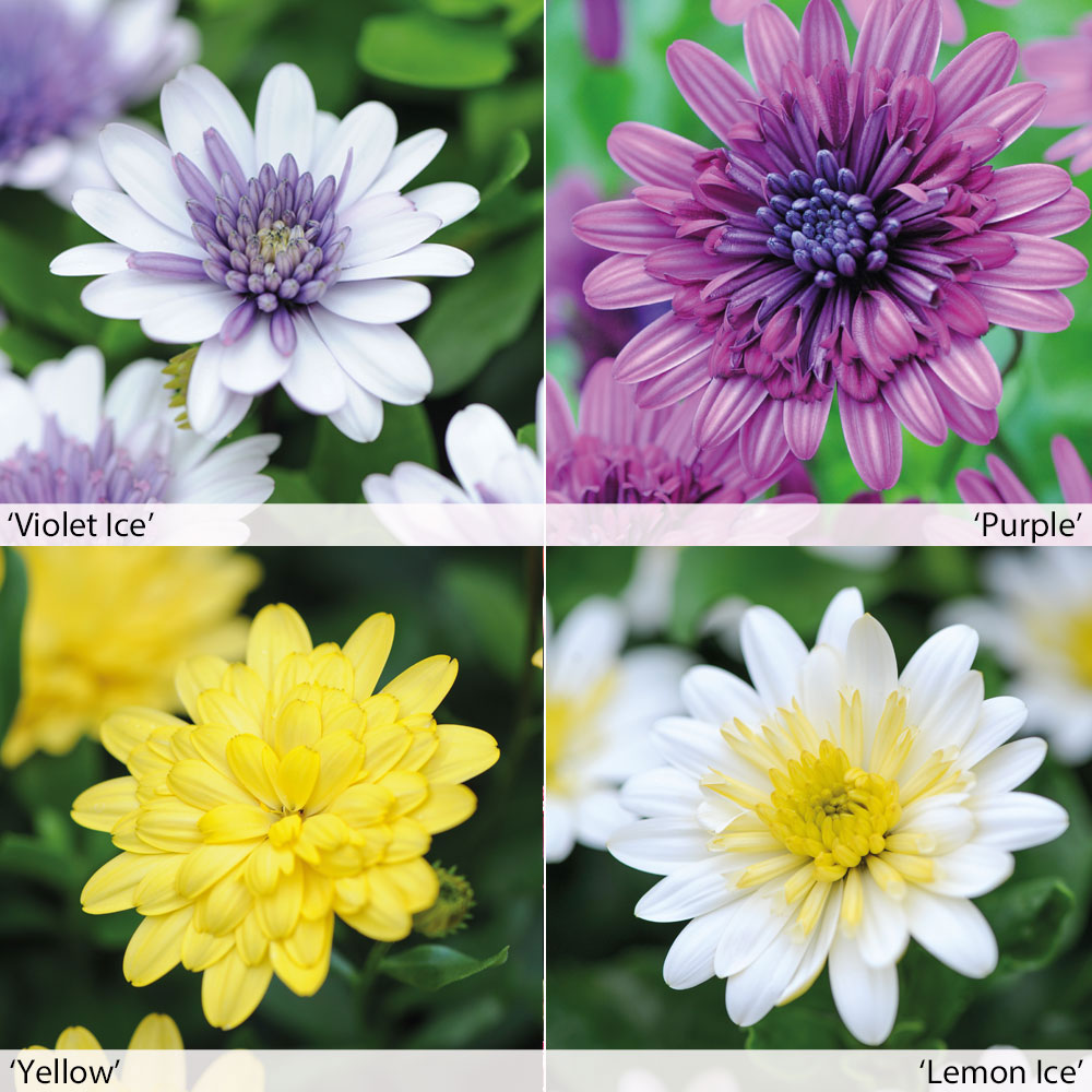 Double daisy at thompson morgan izmirmasajfo Image collections