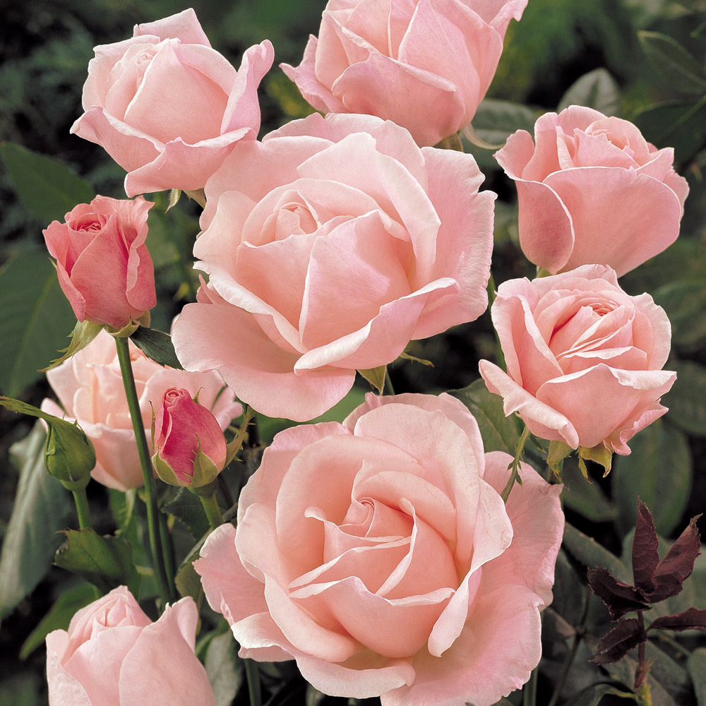 Image of Rose 'Queen Elizabeth' (Floribunda Rose)