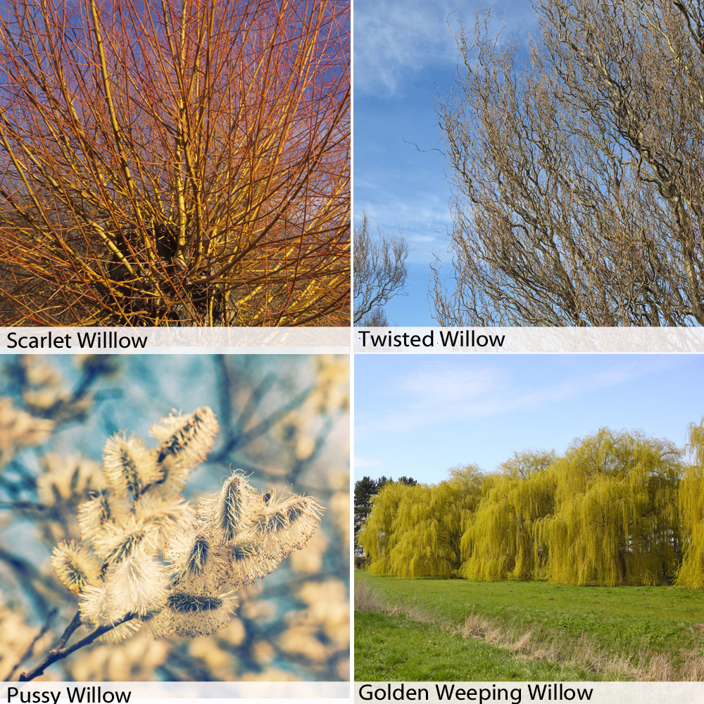 Image of Salix Hedging Collection
