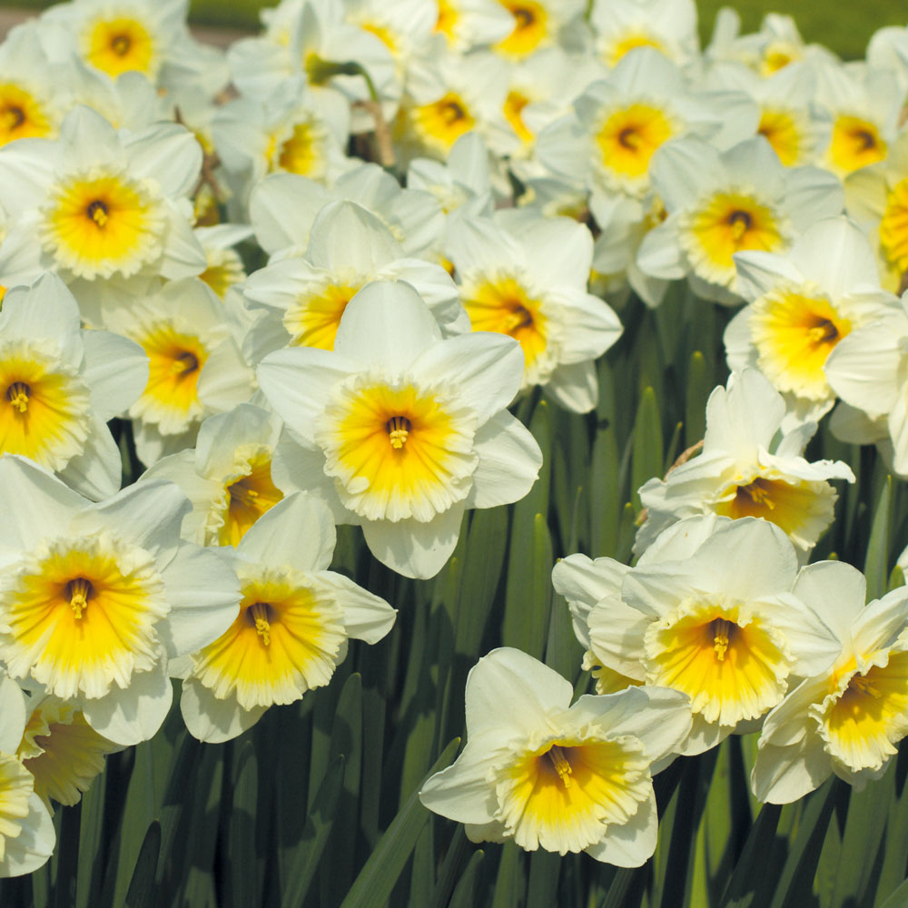 Image of Narcissus 'Butterfingers'
