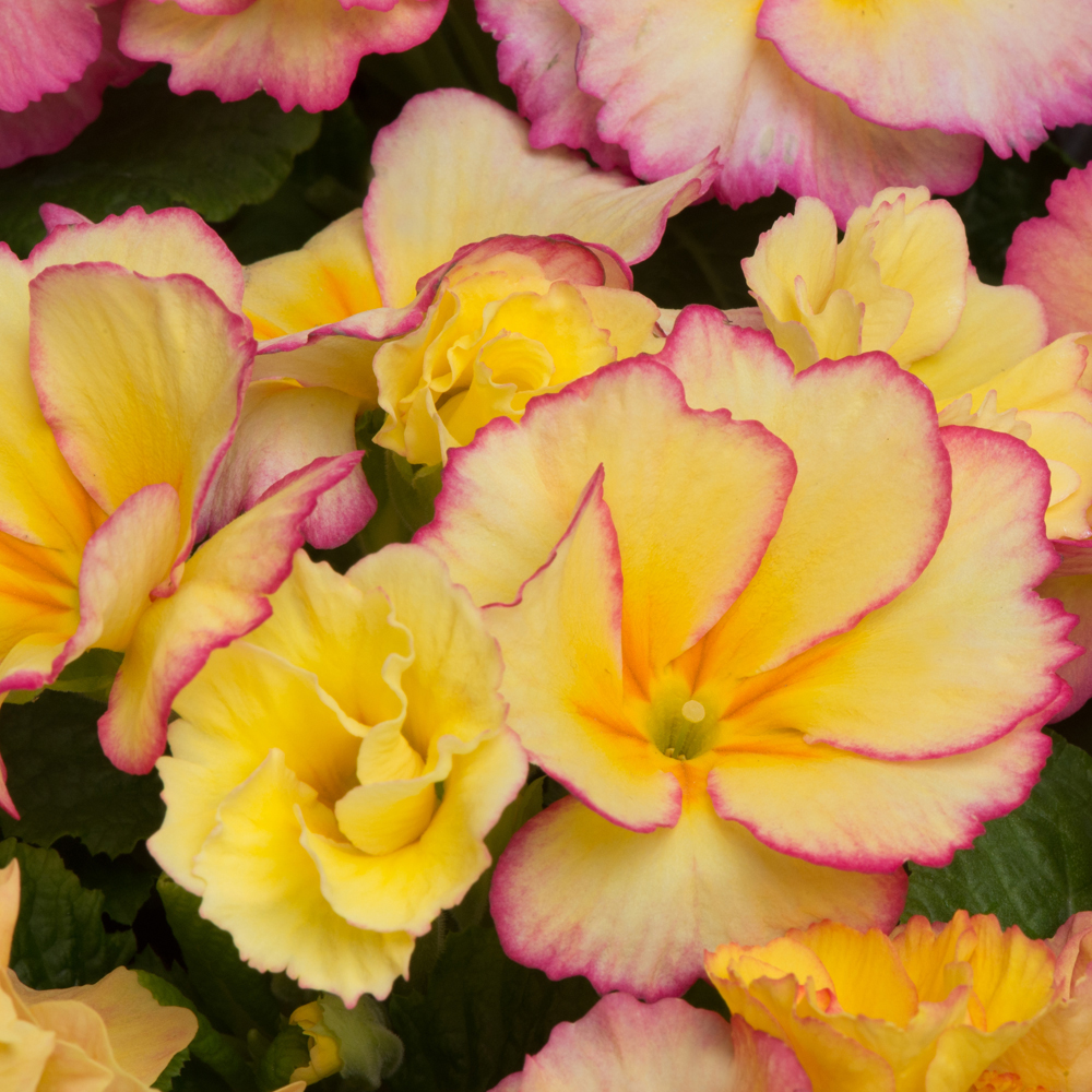 Yellow primrose at thompson morgan mightylinksfo