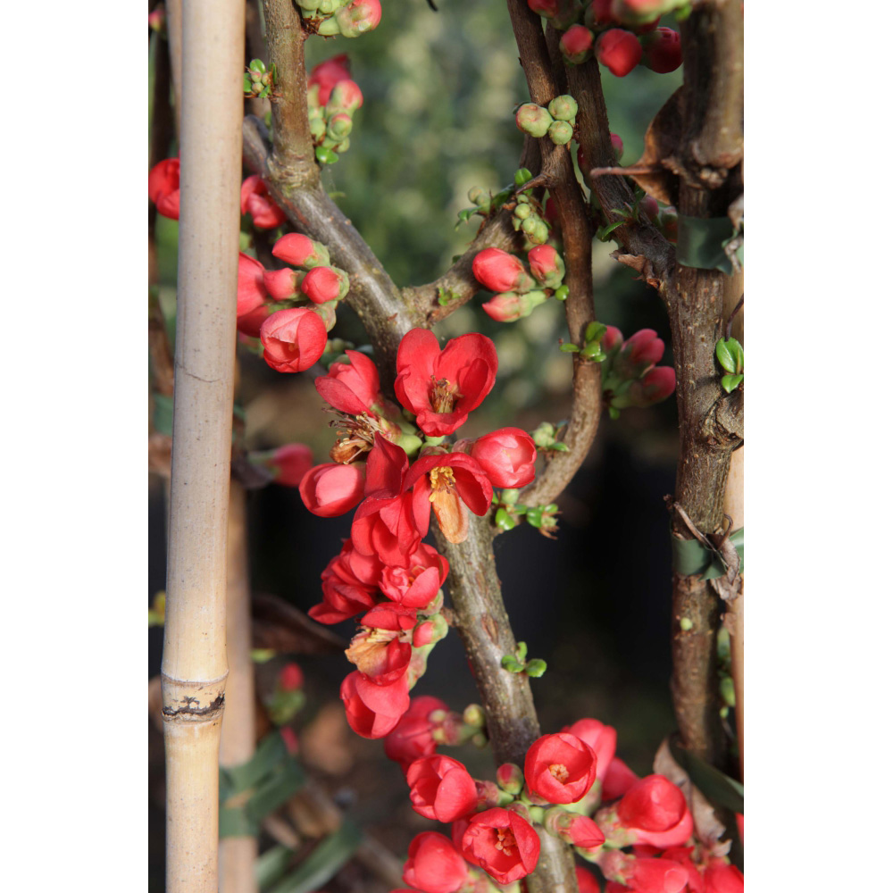 Thompson /& Morgan Hardy Shrub Flowering Japanese Quince /'Pink Lady/' Chaenomeles Ideal for Smaller Gardens Easy to Grow Potted Garden Plants Patio and Containers 2 x 3.6 Litre Pot