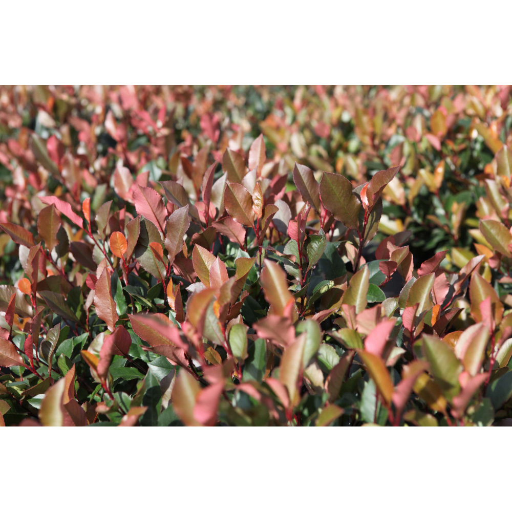 Image of Photinia fraseri 'Little Red Robin'