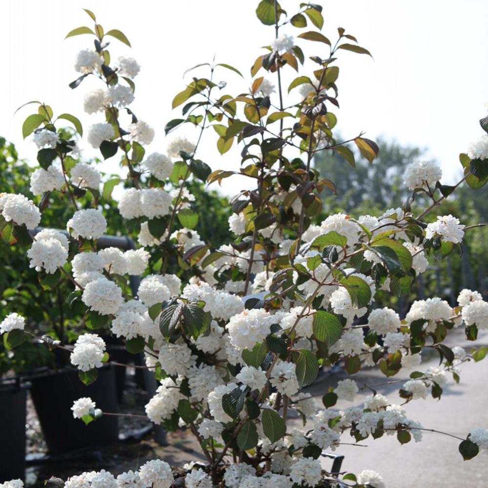 Image of Viburnum plicatum f. plicatum 'Mary Milton'