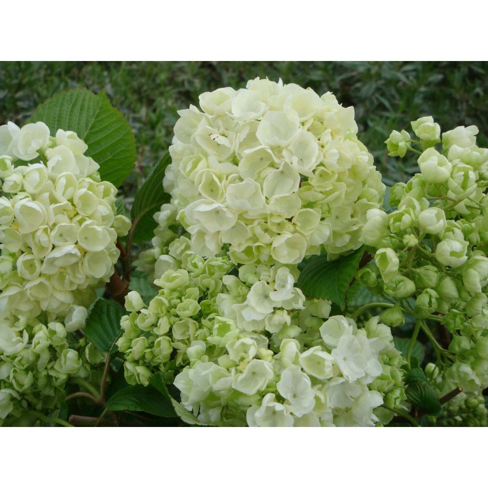 Image of Viburnum plicatum f. plicatum 'Popcorn'