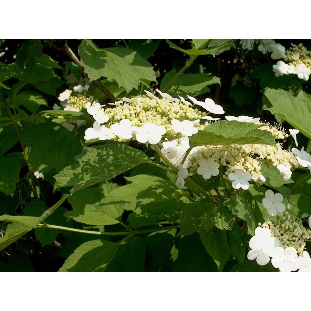 Image of Viburnum sargentii 'Onondaga'