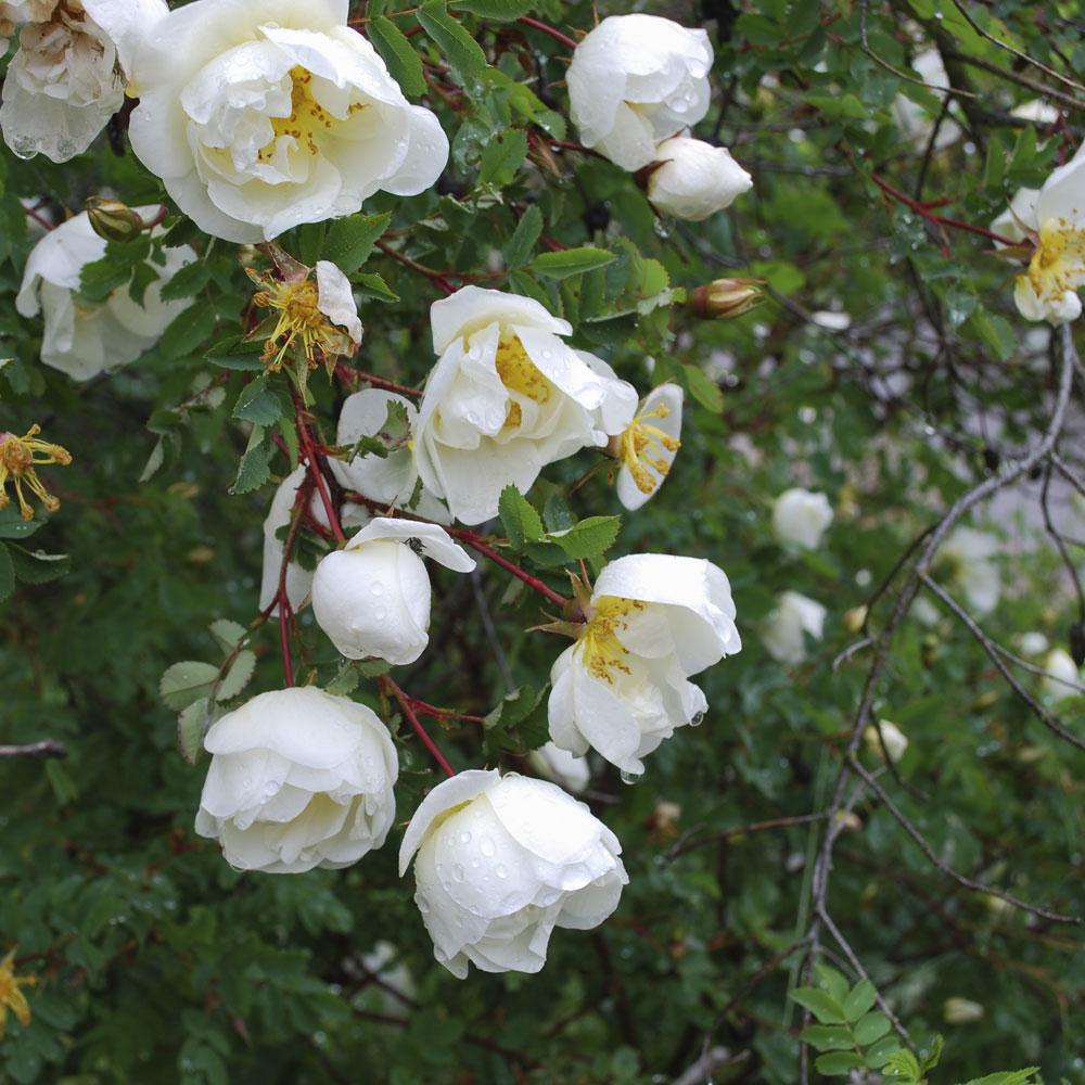 Image of Burnet rose (Hedging)