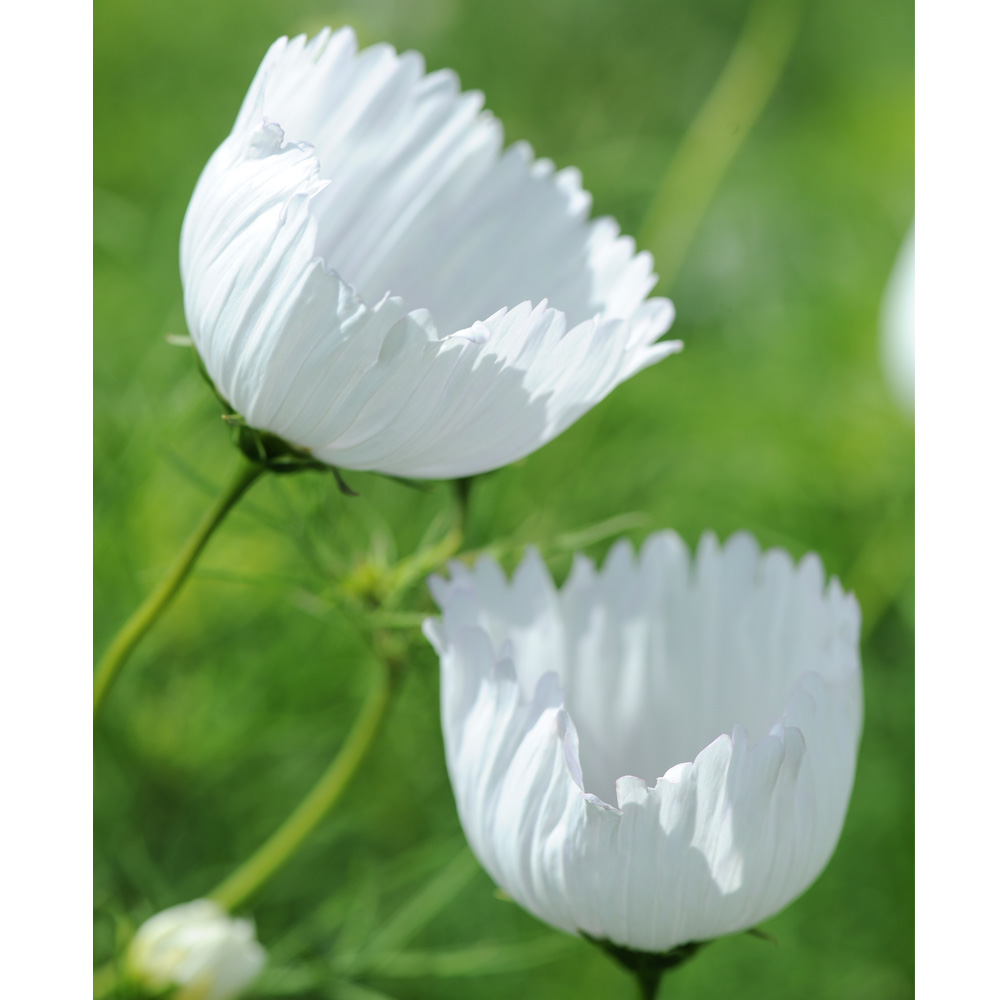 Image of Cosmos bipinnatus 'Cupcakes White'