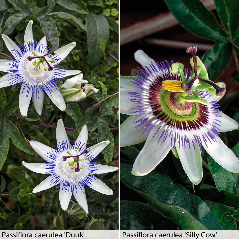 Image of Passion Flower Duo