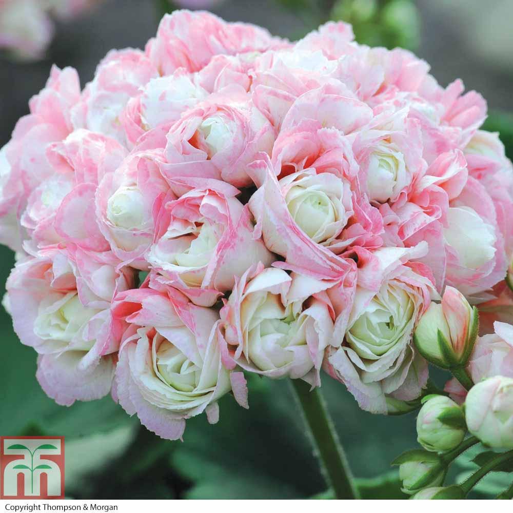 Image of Geranium 'Appleblossom Rosebud'