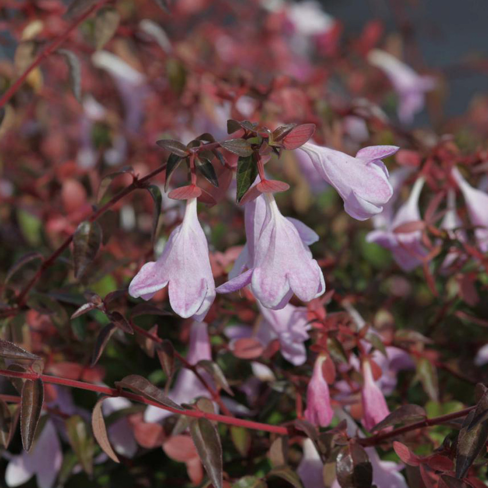 Image of Abelia 'Pinky Bells'