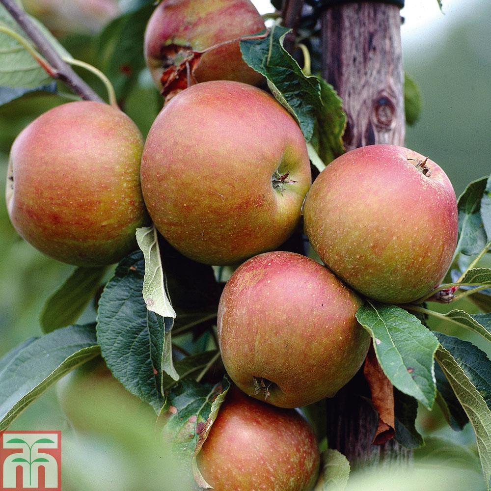 Image of Apple 'Cox's Orange Pippin'