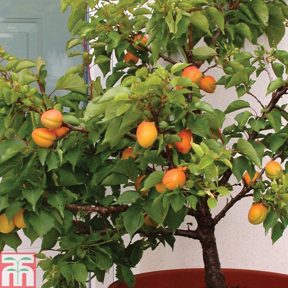 Plants & Seeds Apricot 'Aprigold'® (patio)