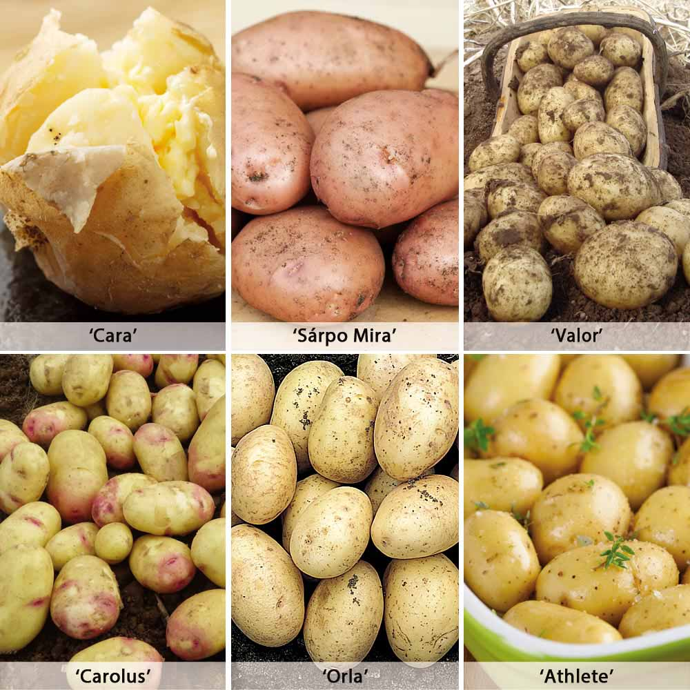 Image of Potato 'Late Blight Resistant Collection'
