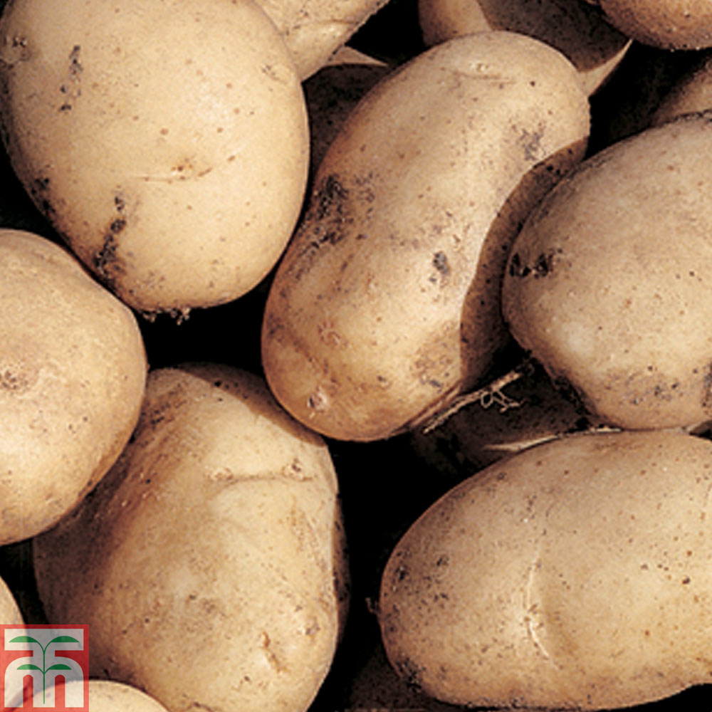 Image of Potato 'Maris Bard'