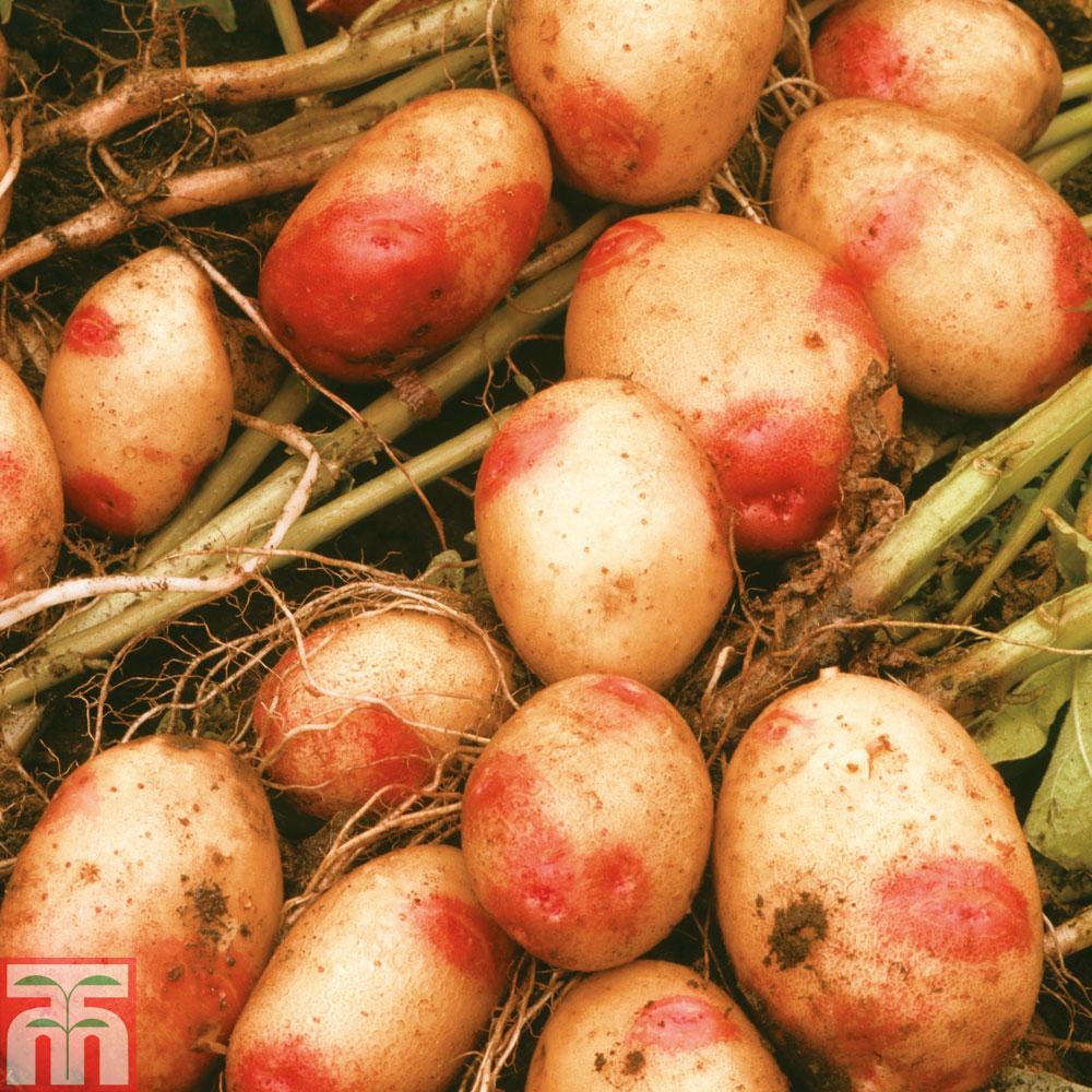 Image of Potato 'King Edward'