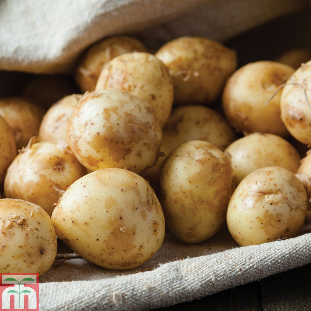 Image of Potato 'Lady Christl'