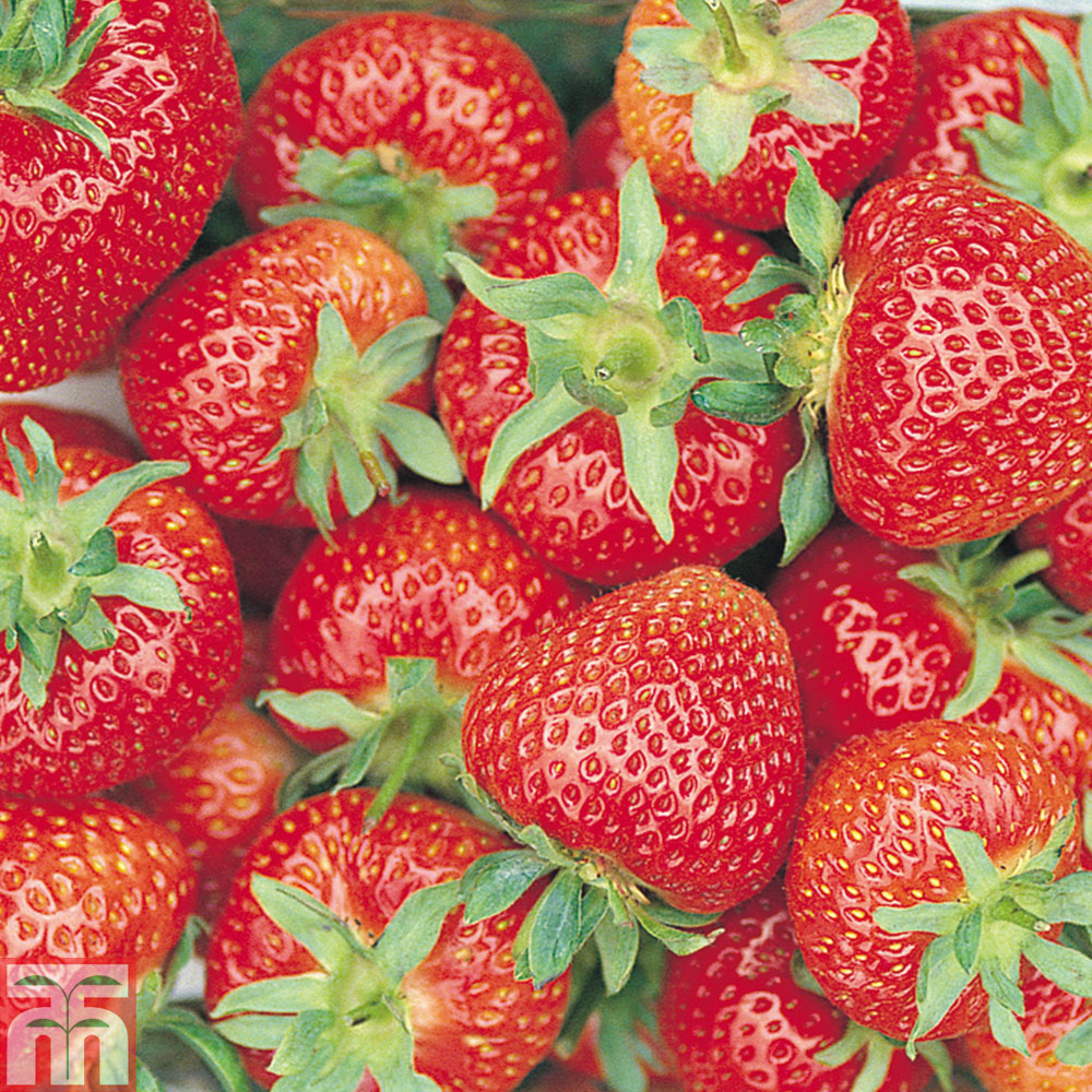 Strawberry Alba: variety description, cultivation and care 79