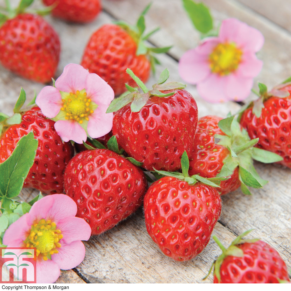 Strawberry Alba: variety description, cultivation and care 16