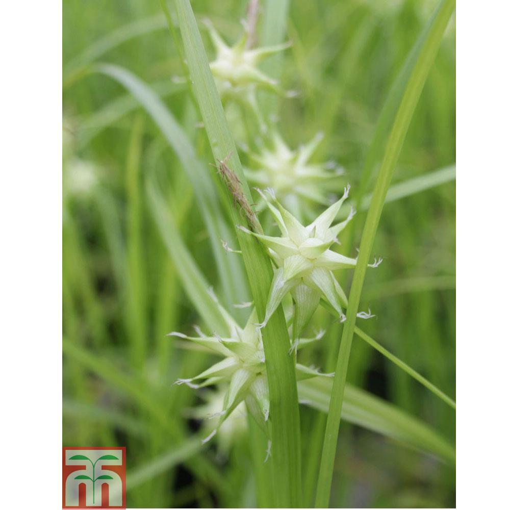 Image of Carex grayi (Marginal Aquatic)