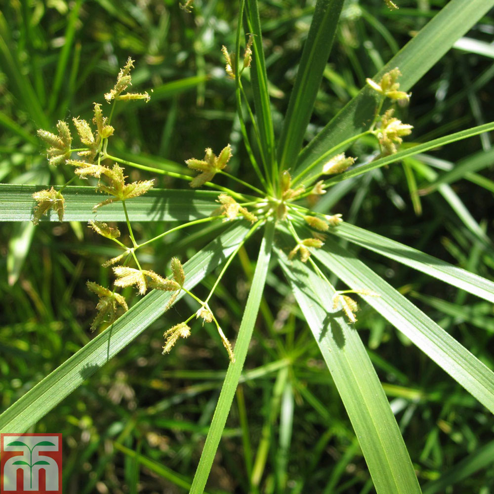 Image of Cyperus involucratus (Marginal Aquatic)