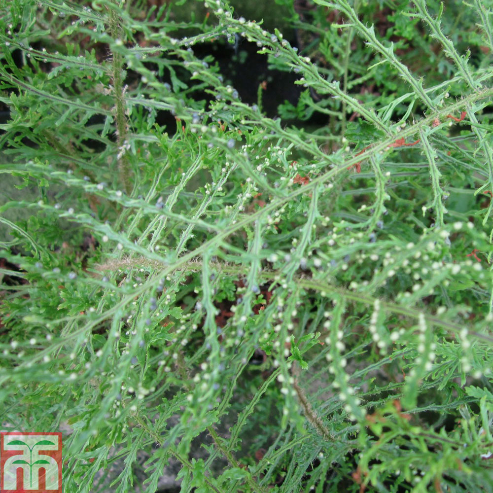Image of Dryopteris filix-mas 'Linearis Polydactyla'
