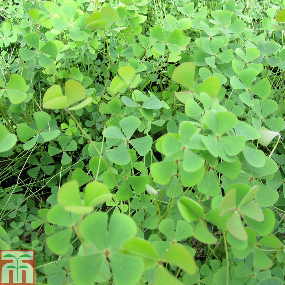 Image of Marsilea quadrifolia (Oxygenating Aquatic)