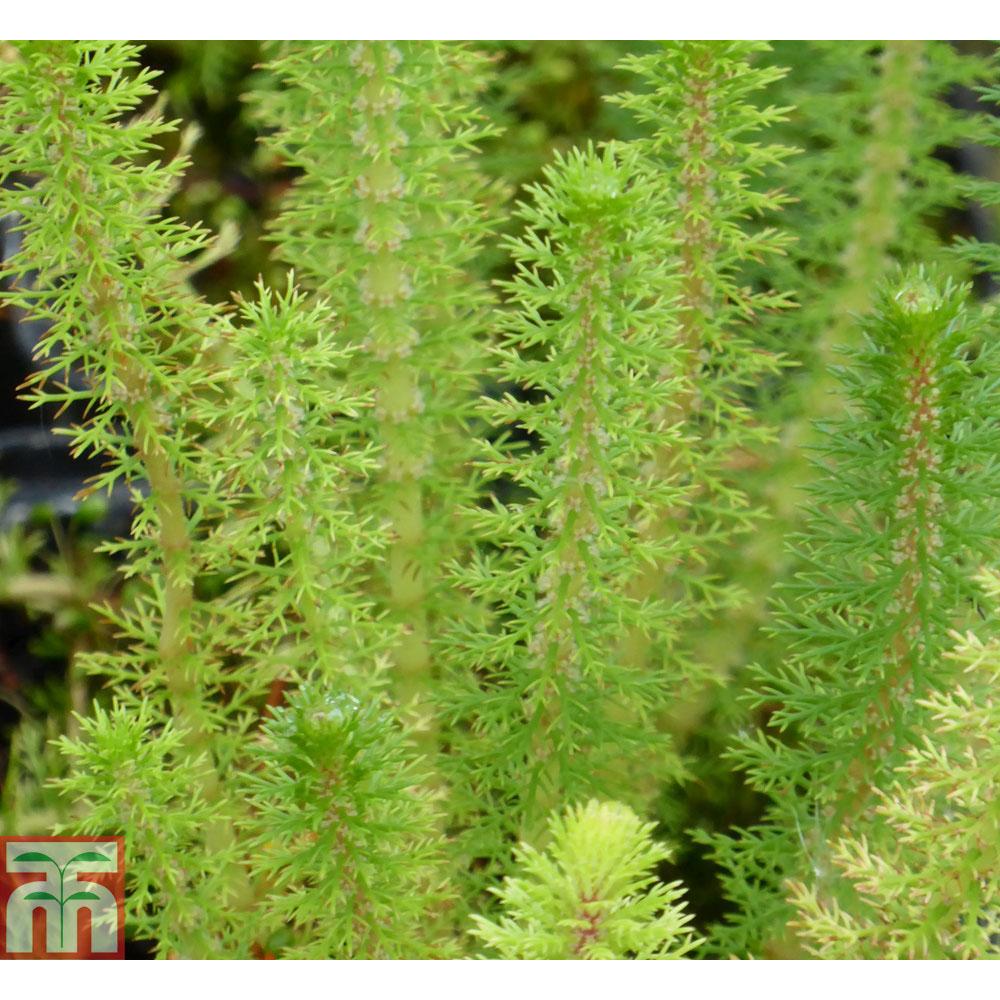 Image of Myriophyllum crispatum (Oxygenating Aquatic)