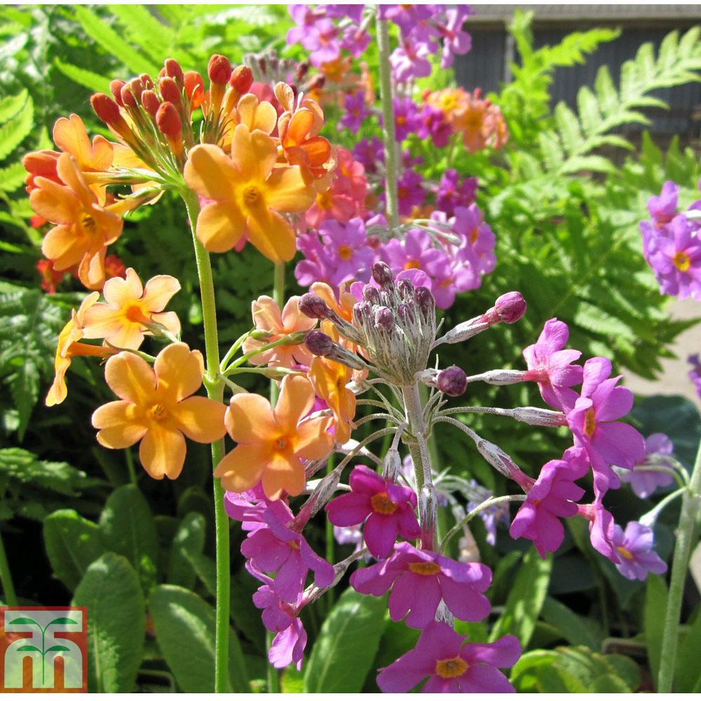 Image of Primula beesiana