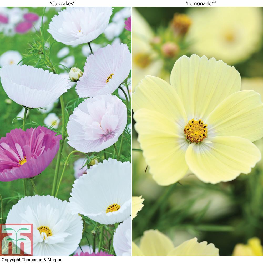Image of Cosmos bipinnatus 'Cupcakes' and 'Lemonade™' Duo (Garden Ready)