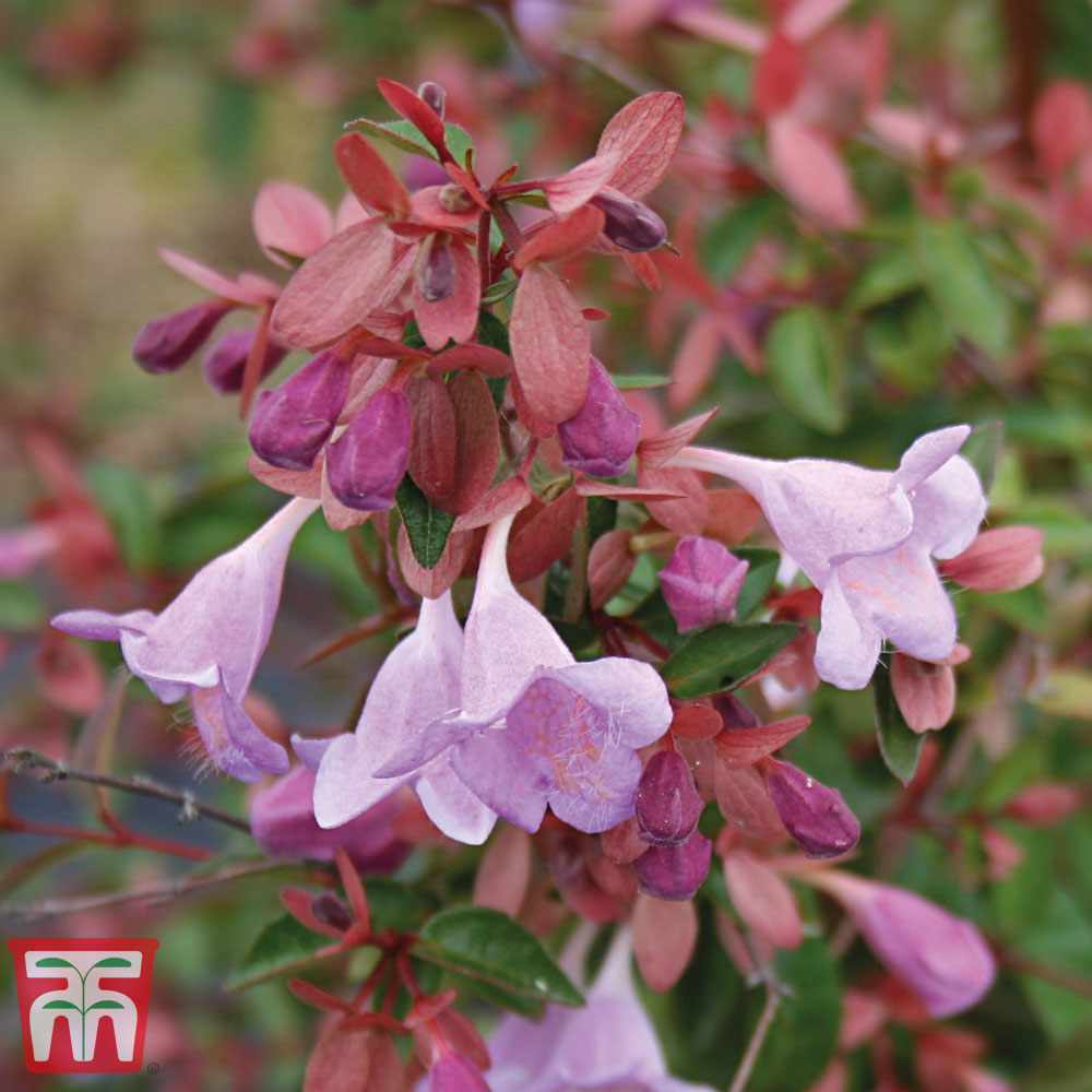 Image of Abelia 'Pink Pong'