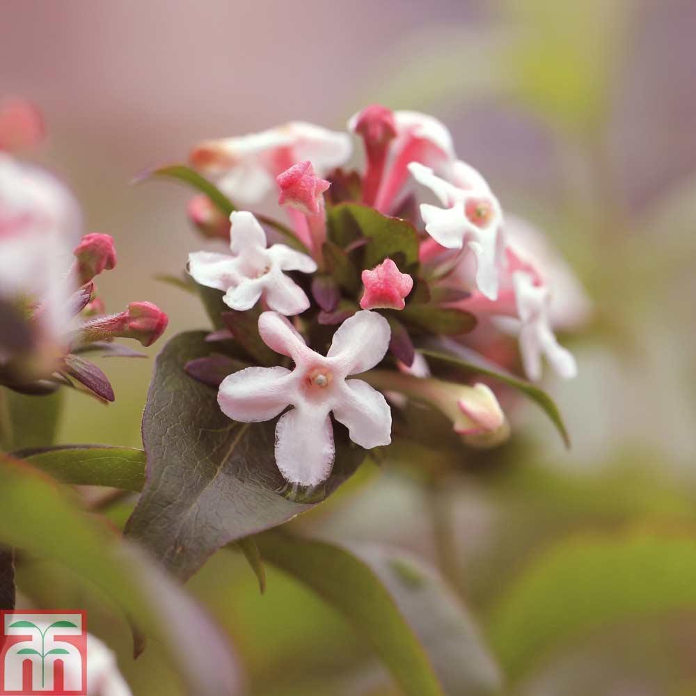 Image of Abelia mosanensis