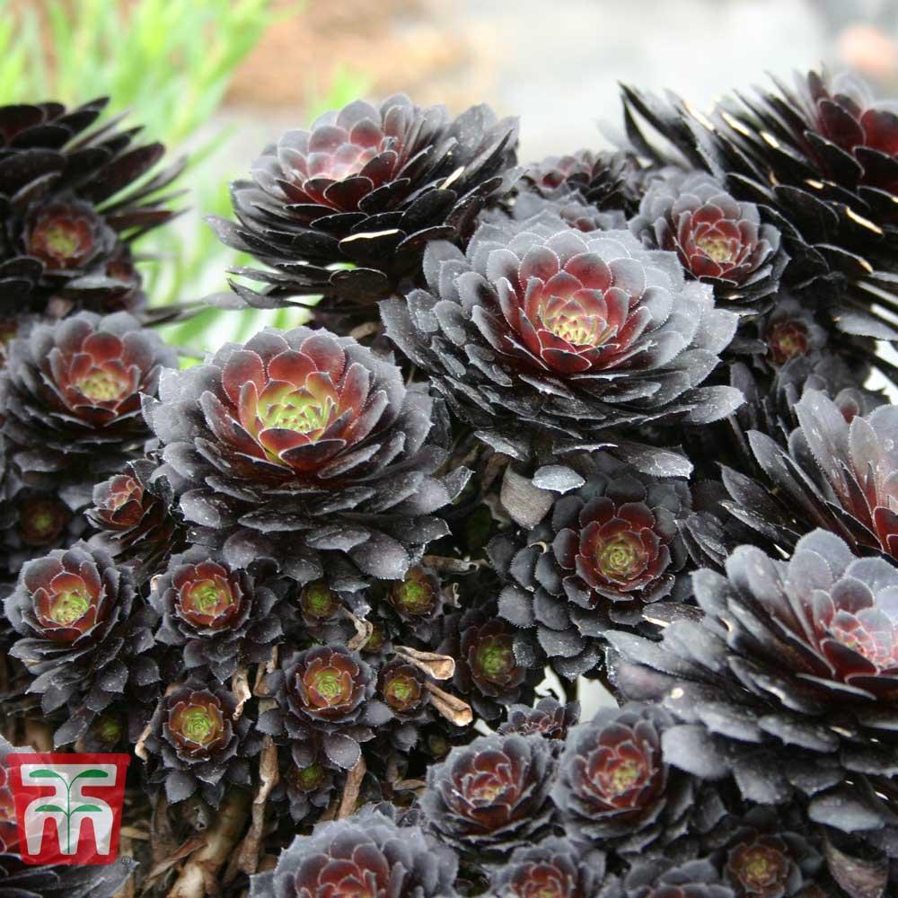 Image of Aeonium arboreum 'Tip Top'