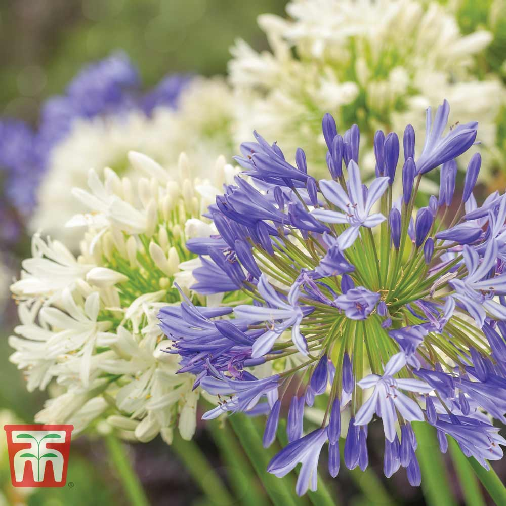 Image of Agapanthus Blue & White Collection
