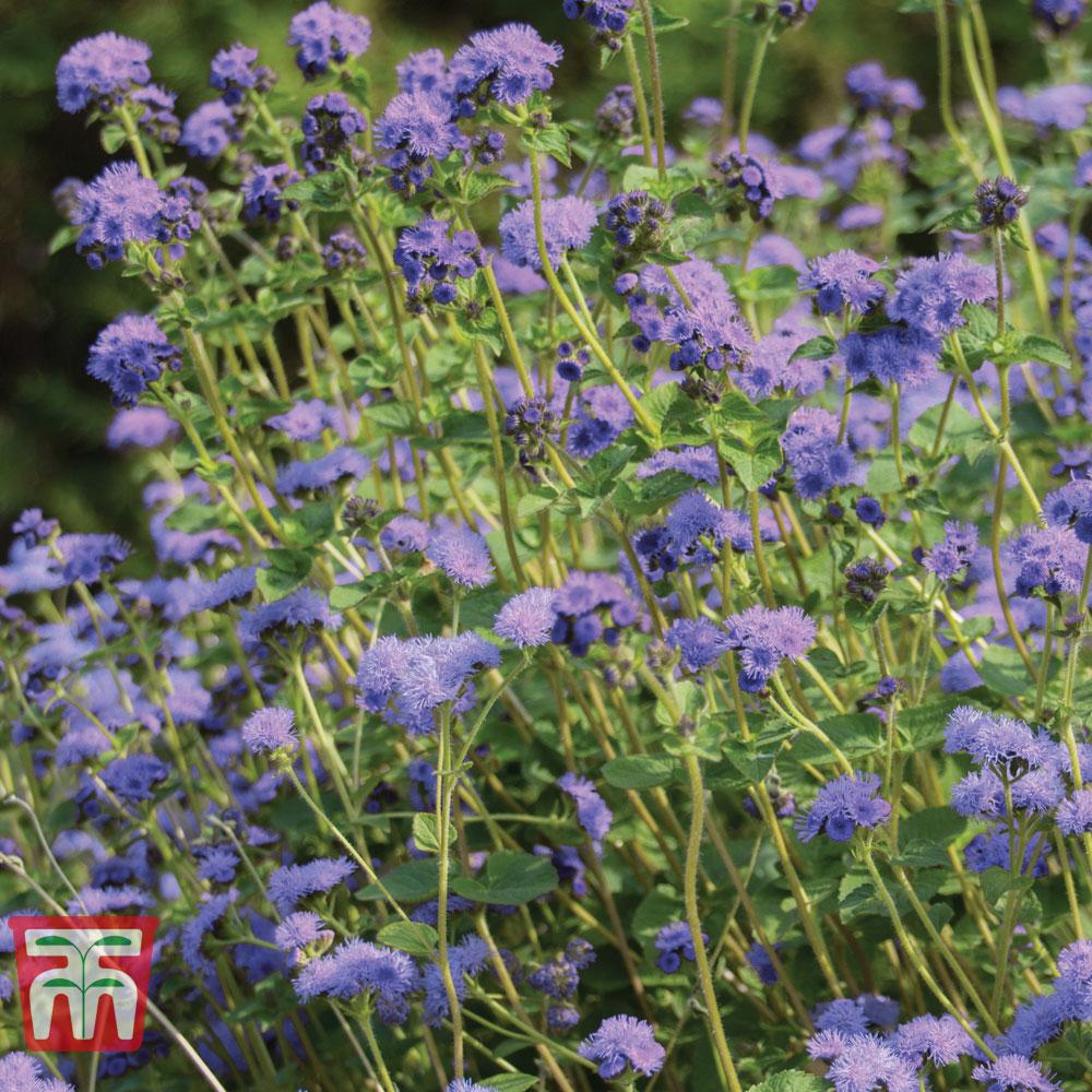 Image of Ageratum 'Everest Blue'