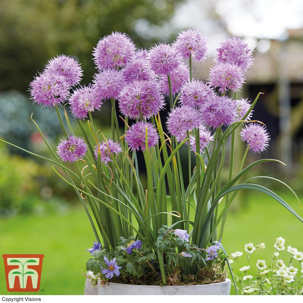 Image of Allium carolinianum 'Rosy Dream'