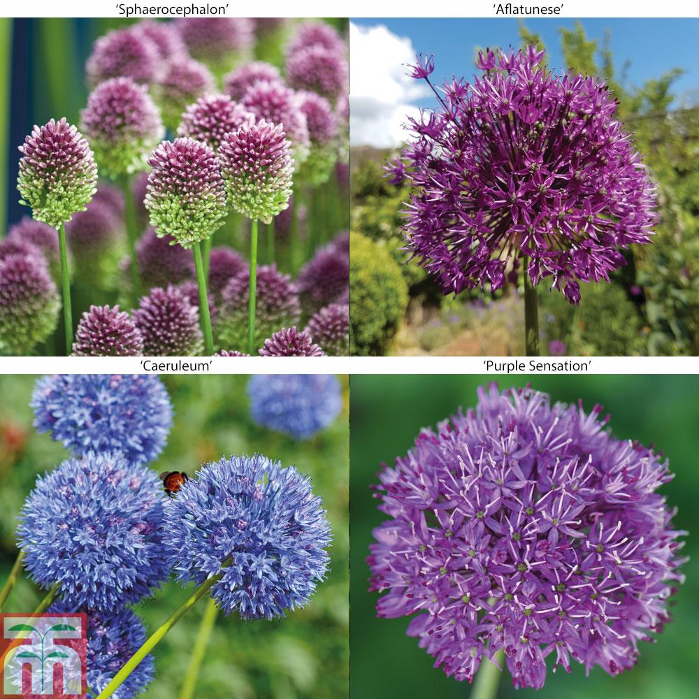 Image of Allium Collection