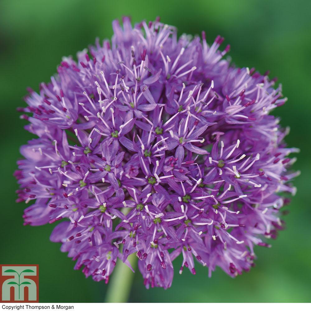 Image of Allium 'Purple Sensation'