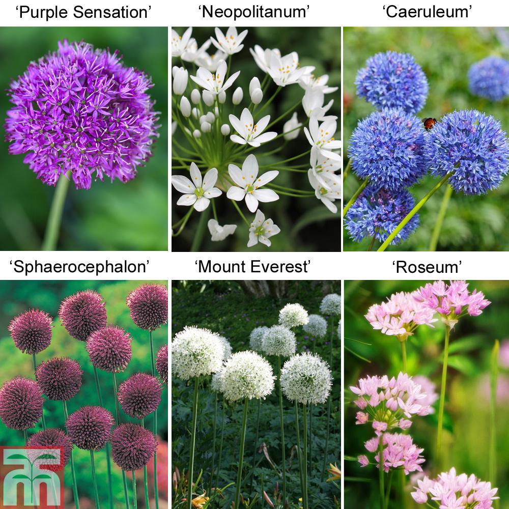 Image of 100 Cottage Garden Alliums