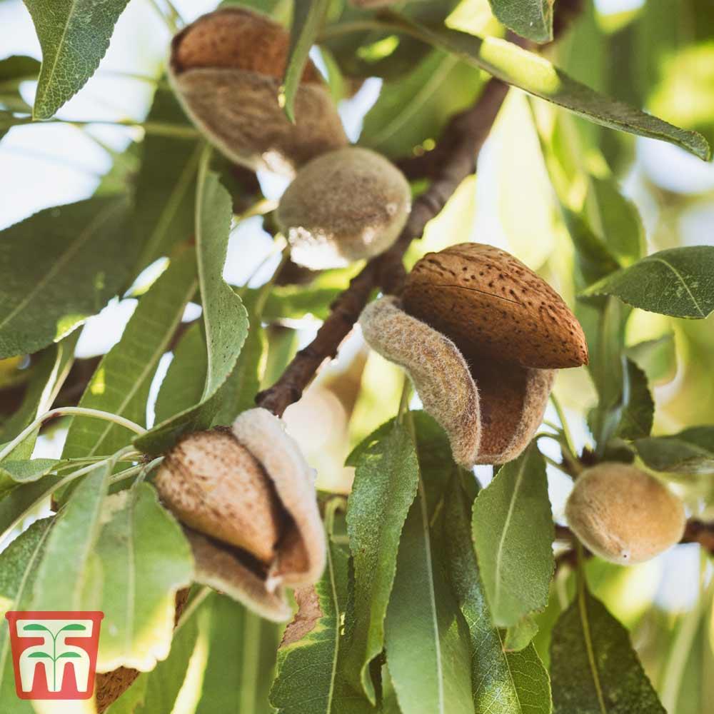 Image of Almond 'Robijn'