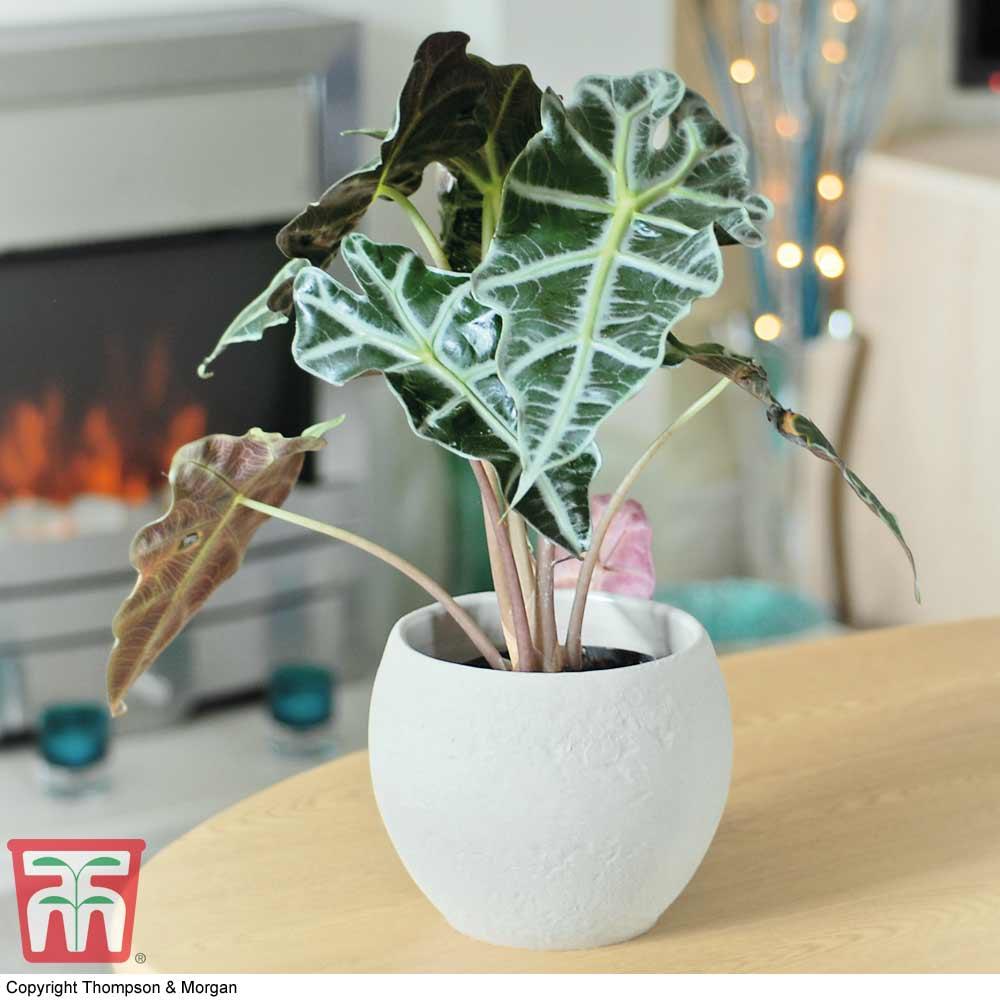 Image of Alocasia x amazonica (House Plant)